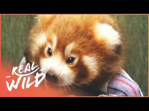 Red Panda's New Litter Check Up | Zoo Days | Real Wild
