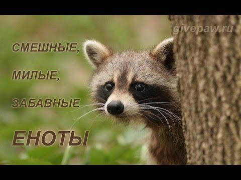 Смешные и прикольные еноты - забавные животные. Funny raccoon - cute animals