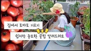 토마토 키울때 꼭 알아둬야 할 것들 ( 지주대, 곁순제…