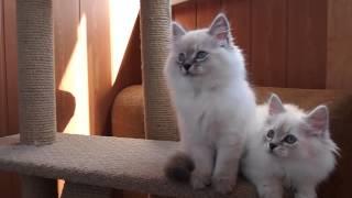 Neva Nasquerade kittens Siberian Kittens Невские маскарадные котята Сибирские котята