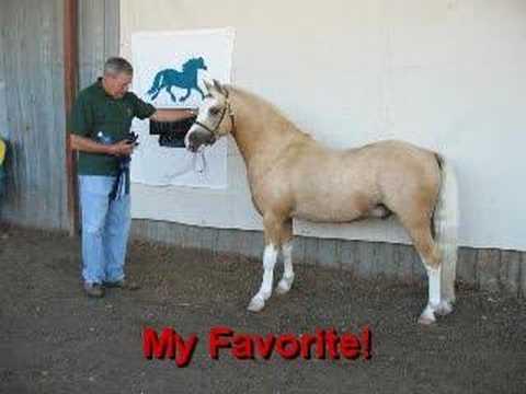 Welsh Mountain Pony Show