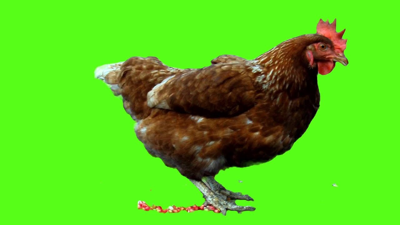 Chicken (Animal) Green Screen Bacground (Camera shooting ...