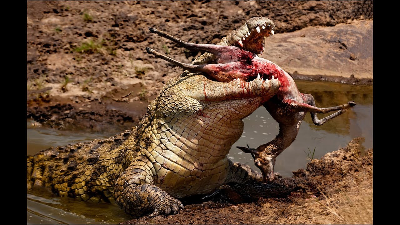 Crocodile attacks elephant, pig, impala - Animal attacks - Crocodile kills lion! Crocodile eating cr