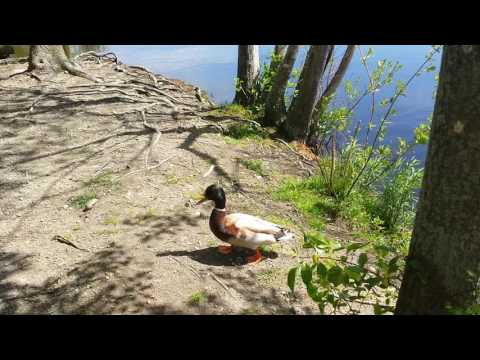 A duck at Cutler Park Needham, MA