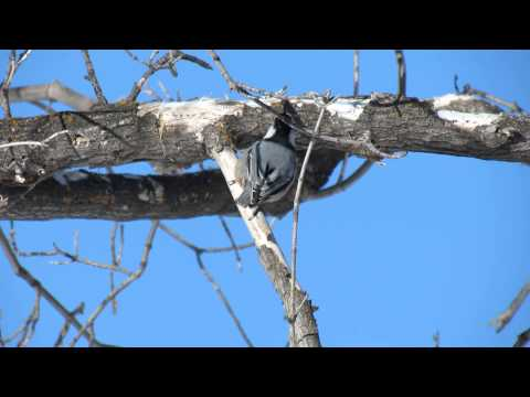 White-breasted Nuthatch call, Moose Jaw, Saskatchewan Canada