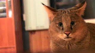 Jungle Cat (Felis chaus nilotica) папа Чаузи F1