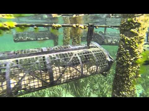 ORGANIC OYSTER HEAVEN- Angel Oysters, Smoky Bay, Eyre Peninsula, South Australia