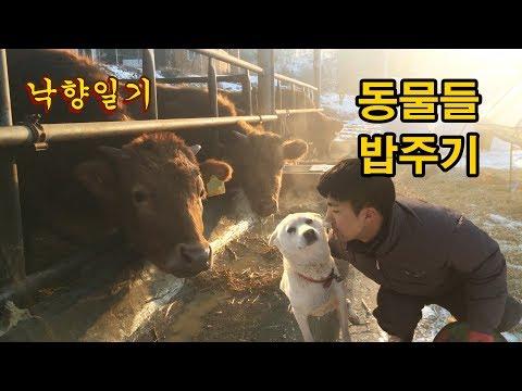 🐶봉봉이(진돗개), 🐔닭, 🐮소들 저녁 밥주기 : [낙향일기] 동물들 밥주기(사료, 소죽먹방!!)