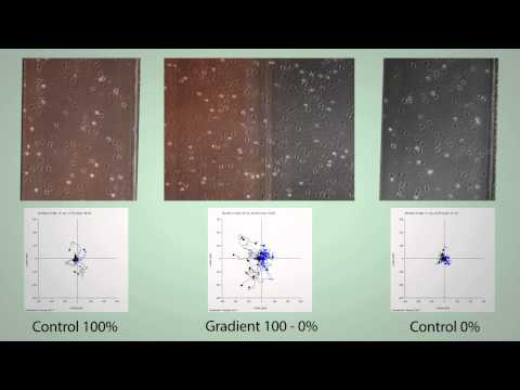 Gradient formation in 2D - live cell tracking