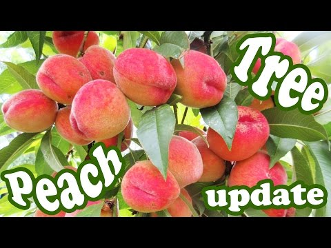 Peach Tree Update - Growing Peaches Fruits Plant - Dwarf Fru