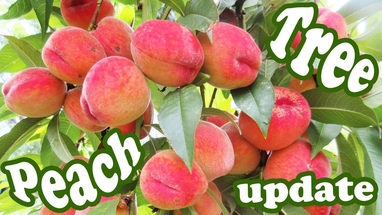 peach tree update growing peaches fruits plant dwarf fruit trees organic gardening jazevox youtube