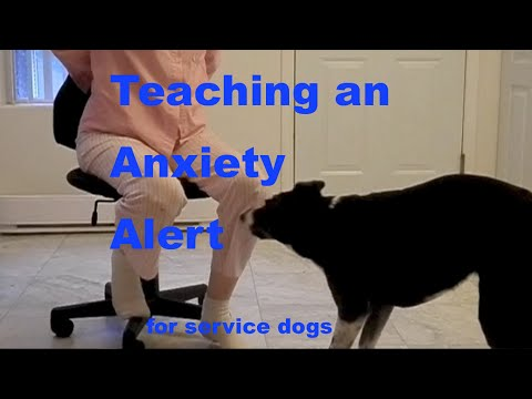 How To Train A Ptsd Anxiety Alert For Service Dogs Or Interrupt Self