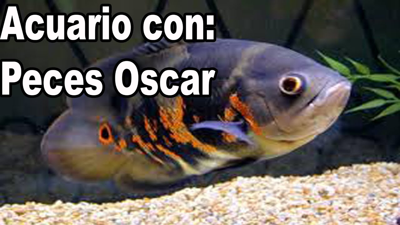 Pez oscar cuidados y alimentaci n youtube for Cuidado de peces
