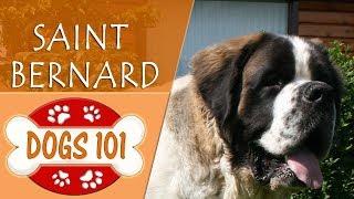 Dogs 101 - SAINT BERNARD - Top Dog Facts About the SAINT BERNARD