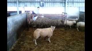 moutons à l'abattoir 2