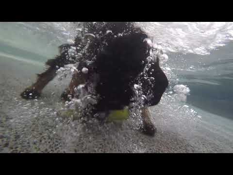 Field Spaniel Puppy Raylan is a fish that is learning to dive underwater...