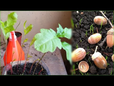Как выглядят семена дуба