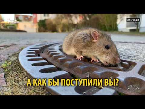 А вы бы стали спасать крысу?
