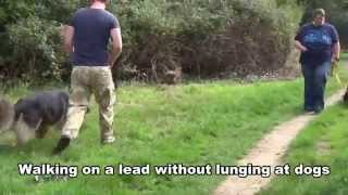 Sam - German Shepherd - On Lead Dog Aggression - Residential Dog Training At Adolescent Dogs Uk