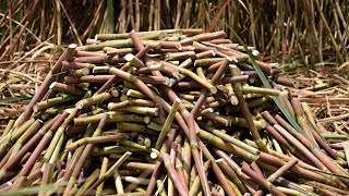 Young or Mother Sugarcane Cutting Work Process For New Sugarcane Plants in India | Wild Food