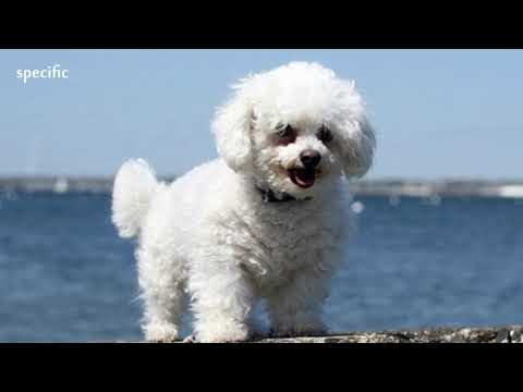Details about Bichon frise Specific information about animals  Animal wikipedia series animal