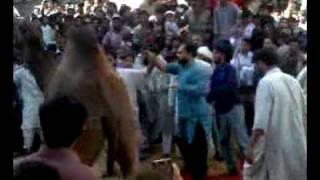 Camel Qurbani 12/12/2008 Momin Plaza