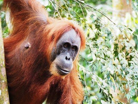 Bukit Lawang Orang Utan Jungle Trekking | Medan VLOG pt.2