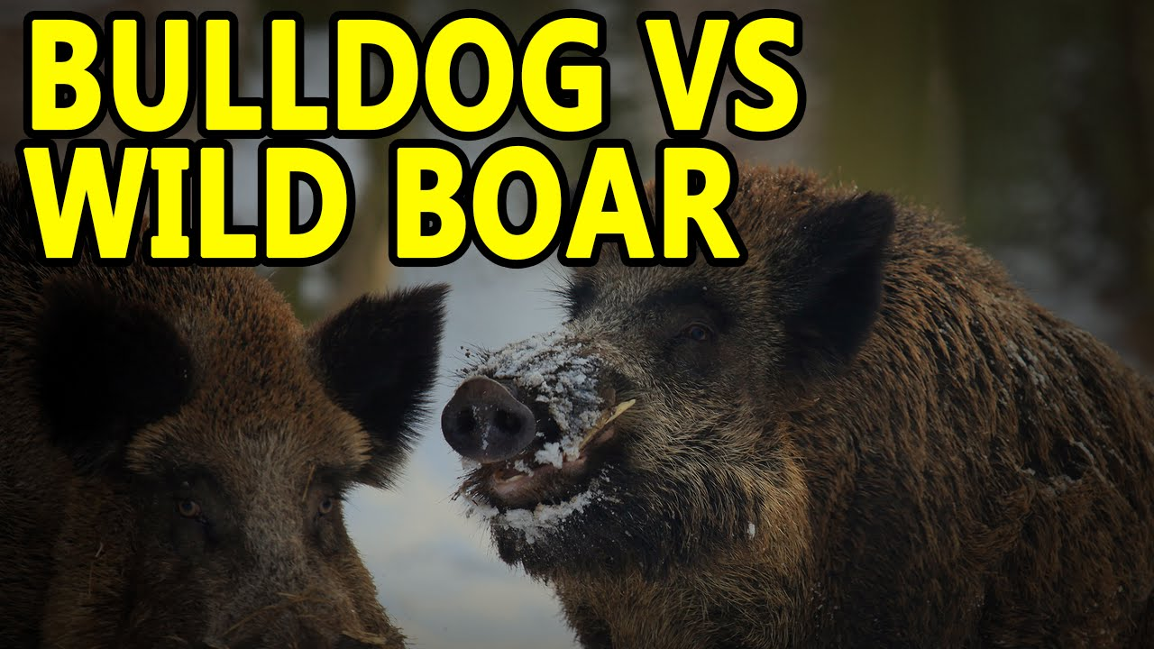 AMERICAN BULLDOG VS WILD BOAR | WORKING BULL BREEDS - YouTube