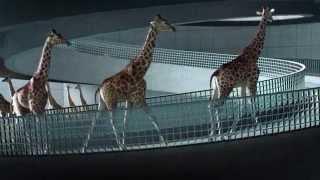 Жирафы ныряют в Бассейн.