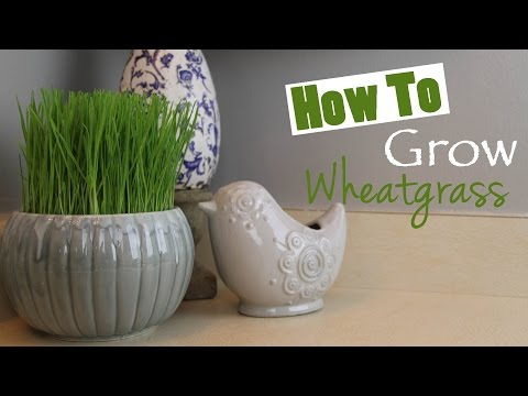 How To Grow Wheatgrass At Home DIY