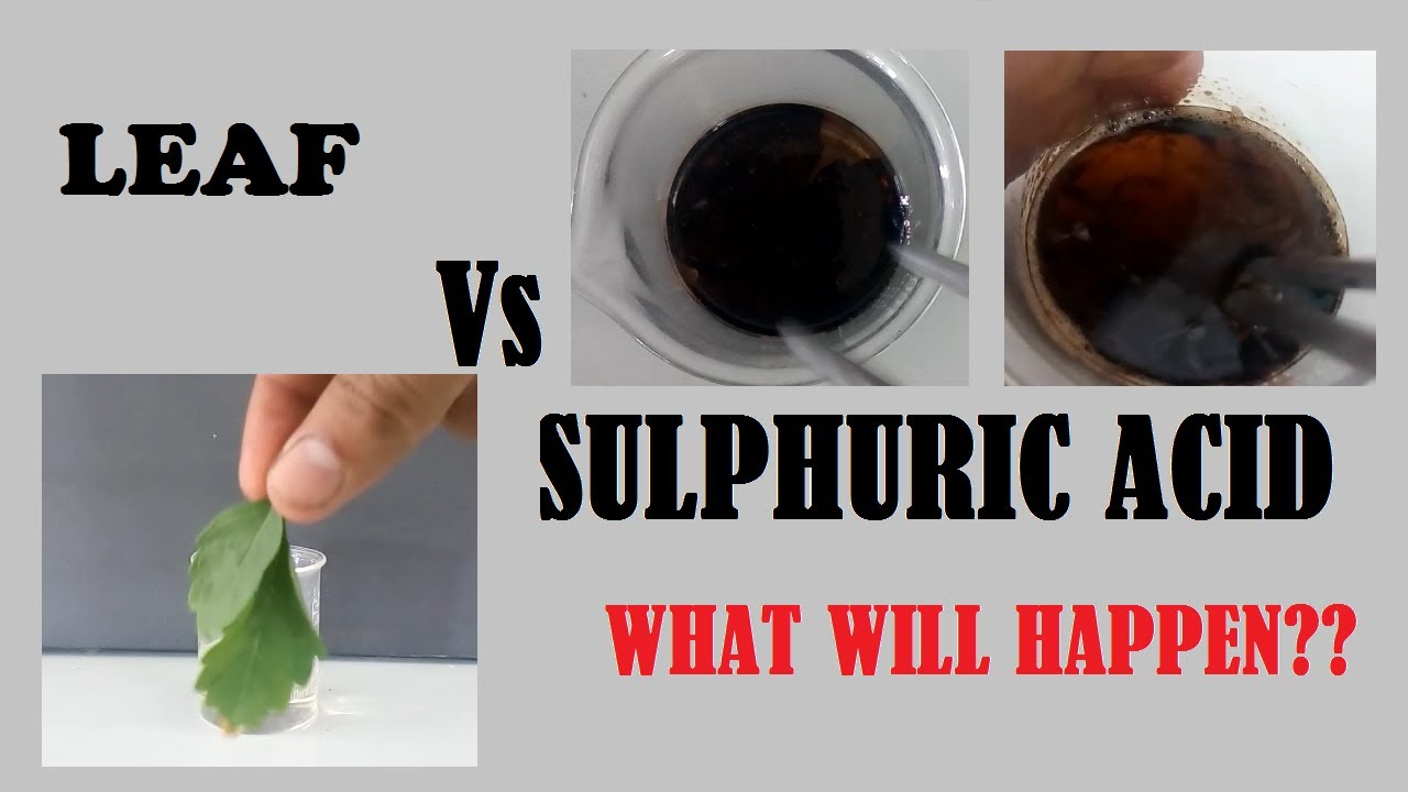 Sulphuric acid and Leaf ( What will happen )