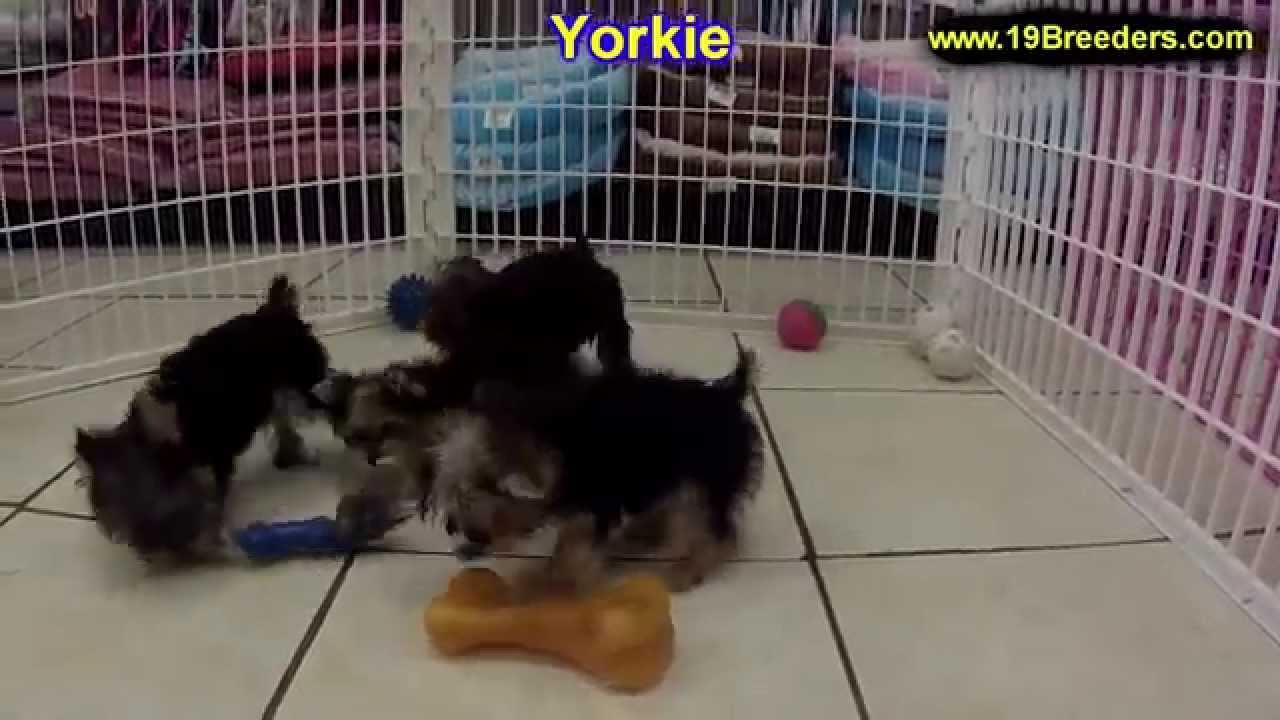Yorkshire Terrier, Yorkie, Puppies, Dogs, For Sale, In Louisville