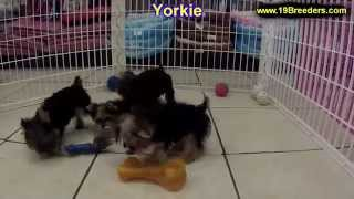 Yorkshire Terrier, Puppies, For, Sale, In, Lexington, County, Kentucky, Ky, Bowling Green, Owensboro