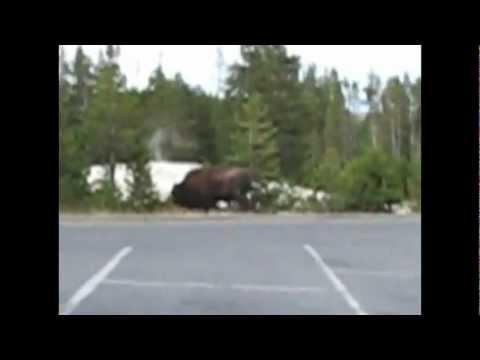 (Yellowstone bison attack parodi) En Jävla Buffel!