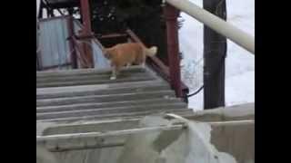 Кот, который постоянно орет