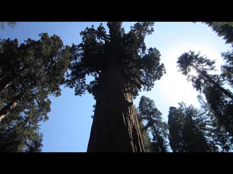 The General Sherman Tree, California