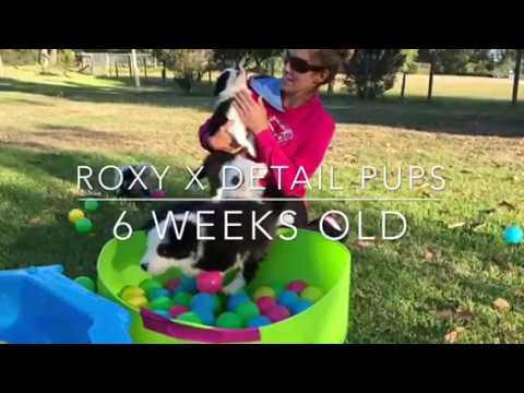 Roxy x Detail pups- 6 weeks old