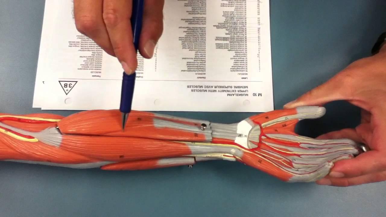 Elbow  Wrist  Wrist Flexors  U0026 Extensors