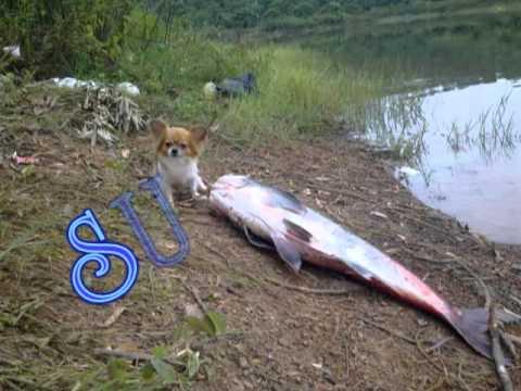 PHAO MAU HONG