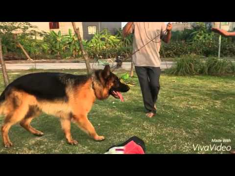Chó Becgie tập cắn-Trại chó Trần Gia 0904160476