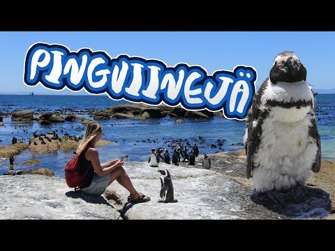 Pingviinejä uimarannalla 🐧 VLOGI 52 | Simon's Town - Cape Town - South Africa
