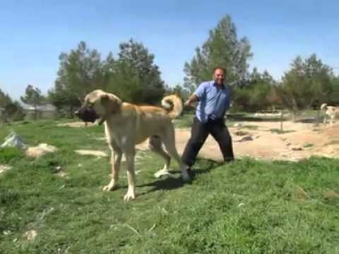 biggest dog in the world 90 cm turkish kangal youtube. Black Bedroom Furniture Sets. Home Design Ideas