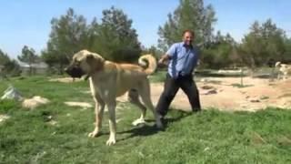 Biggest Dog in the World 90 cm (Turkish Kangal)