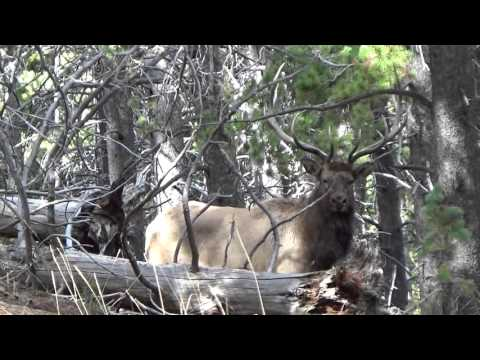 Shooter Bull In The Bighorn Mountains.