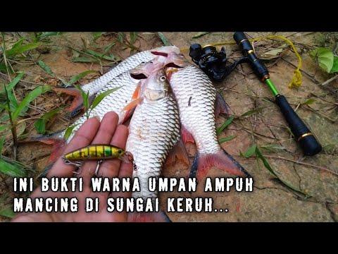 Warna Lure (umpan) Yang Cocok - Mancing HAMPALA Sungai Keruh    Sungai Kalimantan