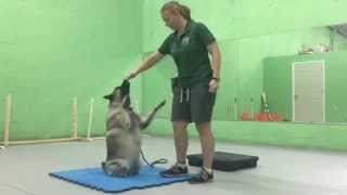 Norweigian Elkhound Getting Her Daily Physical Therapy Exercises, Miami Florida