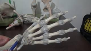 üst ekstremite eklemleri ligamentler