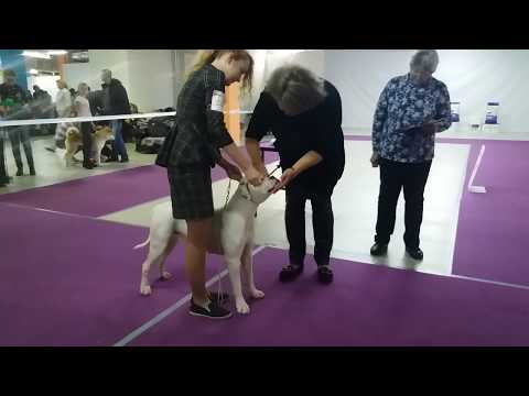 GRAND FUTURE SHOOTING STAR - BEST JUNIOR OF BREED, BEST OF BREED
