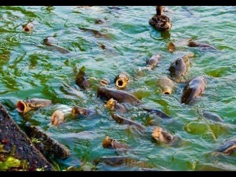ОГРОМНЫЕ САЗАНЫ НА глубине 10см И ТОННЫ САЗАНА рыбалка на сазана