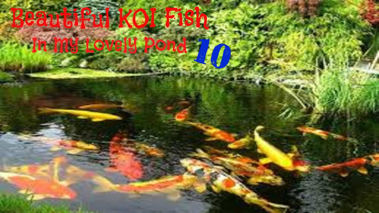 Beautiful koi fish in my lovely pond part 10 youtube for Koi pond price